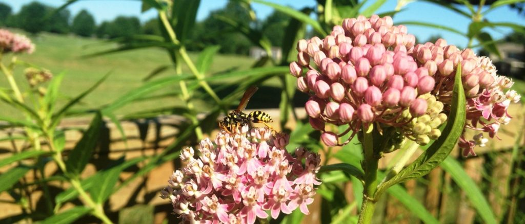 Pollinator close-up on milkweed for The Resilient Activist.