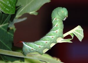 Read more about the article EnviroTip #1: Tomato Hornworms: Feeling The Love