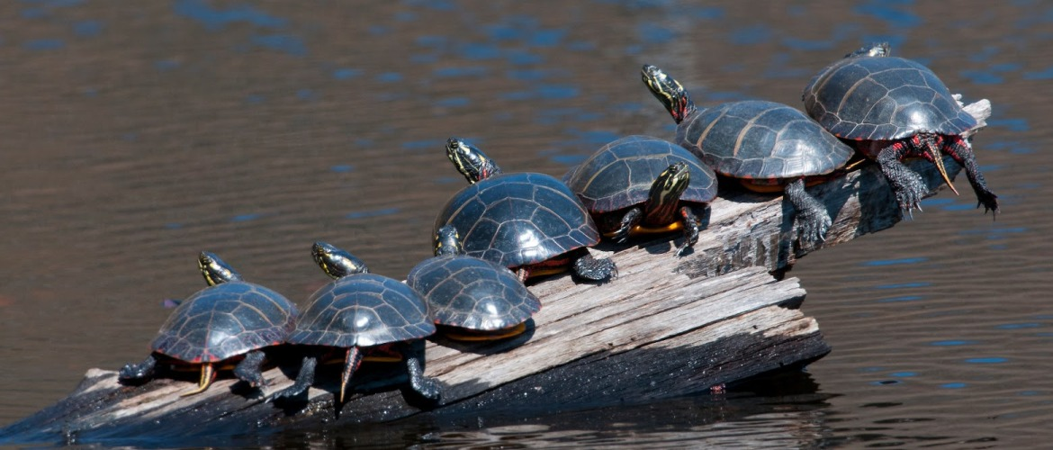 Sunning turtles, for The Resilient Activist