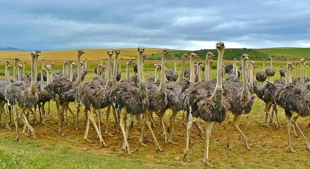 Ostrich flock